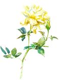 Rose jaune pâle illustration stock
