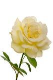 Rose jaune pâle Photographie stock