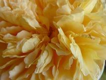 Rose jaune, s'élevant en novembre Photos stock