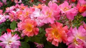 The rose Jazz stock footage