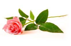 rose jednego Zdjęcia Royalty Free