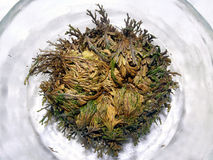 Rose of Jericho. Dry Rose of Jericho starting to open (Anastatica Royalty Free Stock Image