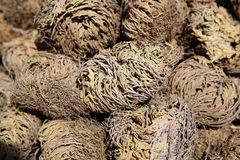 Rose of Jericho Stock Photography