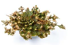 Rose of Jericho Selaginella lepidophylla, False Rose of Jericho, other common names include Jericho rose, resurrection moss. Dinosaur plant, siempre viva royalty free stock photo