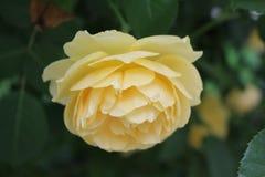 Rose_02 jpg Foto de Stock