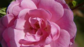 Rose, Königin Elizabeth stockbilder