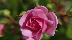 Rose, Königin Elizabeth stockbild