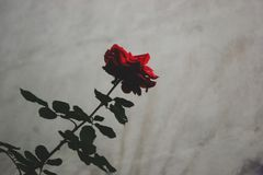 rose kamień obraz royalty free