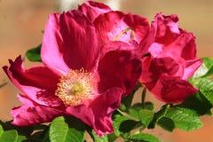 Rose knitterte Lizenzfreie Stockbilder