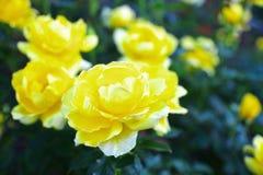 Rose Kogane Lizenzfreies Stockbild