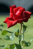 rose korzenna miasta Obrazy Stock