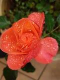 rose kropla deszczu Fotografia Royalty Free