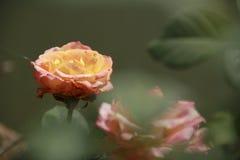 Rose at Kwan phayao Stock Photos