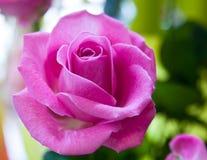 rose kwiat Fotografia Royalty Free