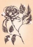 rose kwiat E Zdjęcia Royalty Free