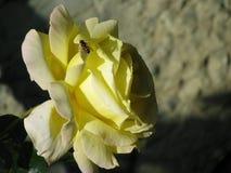 Rose And la abeja Imagen de archivo libre de regalías