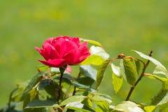 Rose and ladybug Stock Image