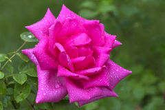 Rose. A large part of varieties of roses obtained as a result of a long selection process through repeated re-crossing and selection Stock Images