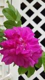 Rose on Lattice. Lattice magenta rose green leaves royalty free stock photo