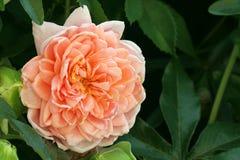 rose lax Arkivbilder