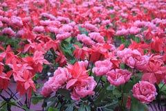 Rose rose, le jardin Rose Photo stock
