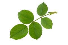 Rose Leaf Stock Image