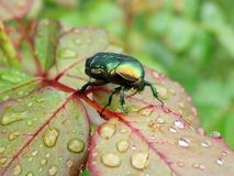 Rose leaf with a bug - rose chafer. Rose leaf with raindrops and a bug - rose chafer royalty free stock photos