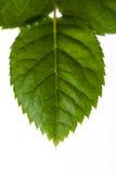 Rose Leaf Close-Up. Isolated On White Background Royalty Free Stock Photo