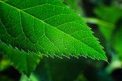 Rose Leaf-Close-up Royalty-vrije Stock Foto's