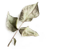 Rose Leaf. Close up rose leaves dry under isolated white background Royalty Free Stock Images