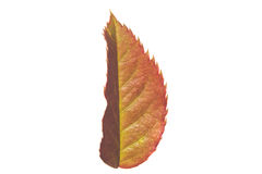 Rose leaf Royalty Free Stock Images