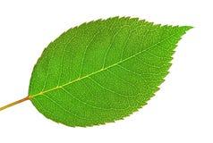 Rose leaf. Green background of rose leaf Royalty Free Stock Photography