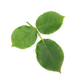 Rose leaf isolated on the white background Stock Images