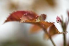 Rose Leaf och vattendroppmakro Fotografering för Bildbyråer