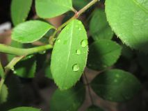 Assembly of raindrops on rose leaf. Rose leaf, after rain, with the remaining list by dropwise royalty free stock images