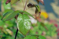 Rose leaf. In spring, closeup Stock Image