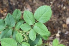 Rose leaf. Structure of a rose leaf Stock Images