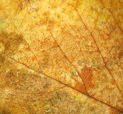 Rose leaf texture Stock Photography