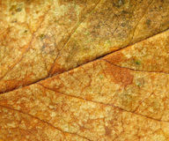 Rose leaf texture. Dry rose leaf background, nerve texture from rear side shown stock photography