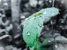 Rose Leaf In Watter Drops arkivbild