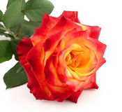Rose with leafs Royalty Free Stock Photo