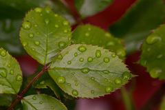 Rose leafs with drops of water. Close up of beautiful rose leafs with rain drops Royalty Free Stock Photo