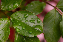 Rose leafs with drops of water. Close up of beautiful rose leafs with rain drops Stock Images