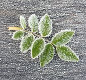 Rose leave in ice crystals. Stock Image