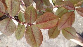 Rose Leaves fotos de archivo