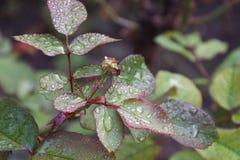 Rose Leaves Fotografia de Stock Royalty Free