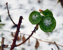 Rose Leaves Imagens de Stock