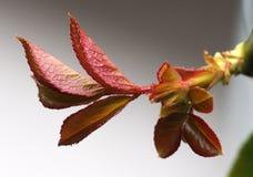 Rose Leaves Imagen de archivo libre de regalías