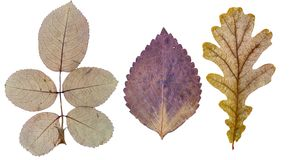 Rose leaves, basil leaf and oak leaf stock photos