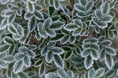 Rose Leaves im Frost Lizenzfreies Stockfoto